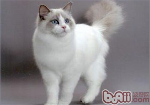 伯曼猫好养吗