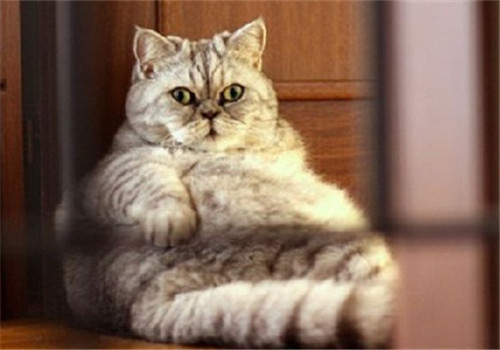 宠物猫健康饮食摄入标准