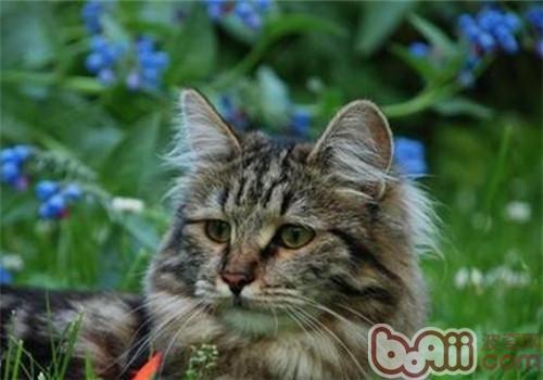 西伯利亚猫动作训练技巧