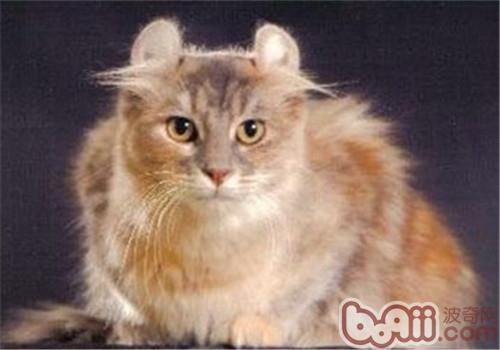 美国卷耳猫怎么养?