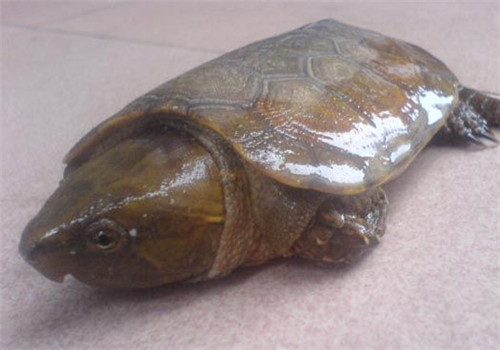 平胸龟的人工饲养