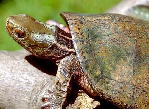 四眼斑龟的人工饲养