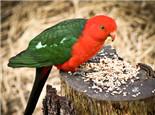 观赏鸟钙磷缺乏的症状及治疗