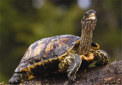 维生素C可用来为龟苗消毒