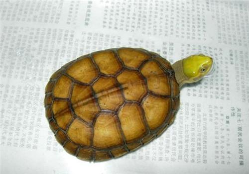 家有黄喉拟水龟