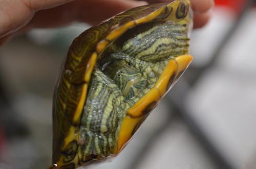 不同生长阶段乌龟的越冬管理