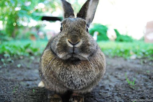 兔子不可以吃的蔬菜