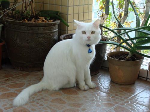 你知道安哥拉猫的生活习性吗?