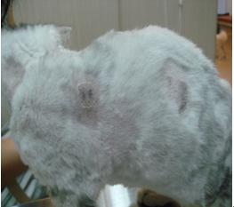 猫咪常见人畜共患传染病