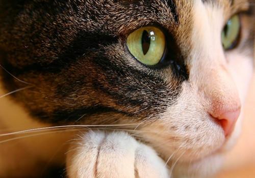猫咪肾脏疾病新知