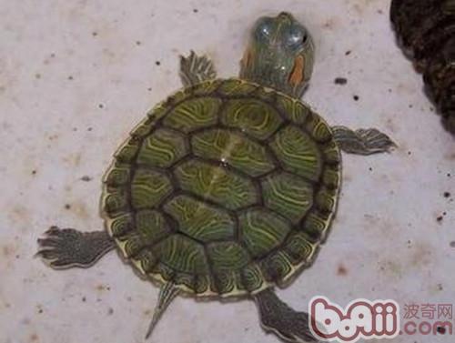 小乌龟冬眠了怎么办_巴西龟冬眠怎么办-巴西龟怎么冬眠? _感人网