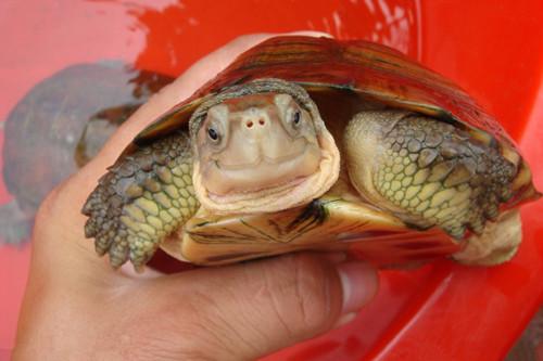常見龜類的鑒別