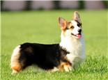 五种柯基犬难饲养的原因