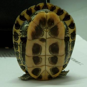 龟的越冬后死亡