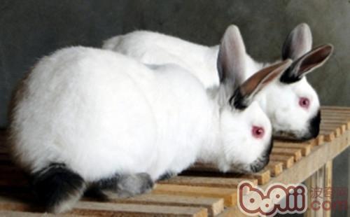 大型兔兔种类汇总|小宠品种-波奇网百科大全