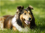 基因决定狗狗的毛发特征