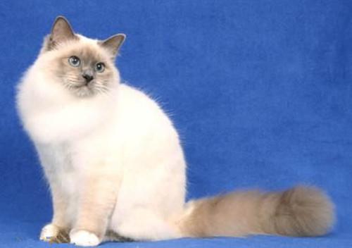 爪哇猫简介