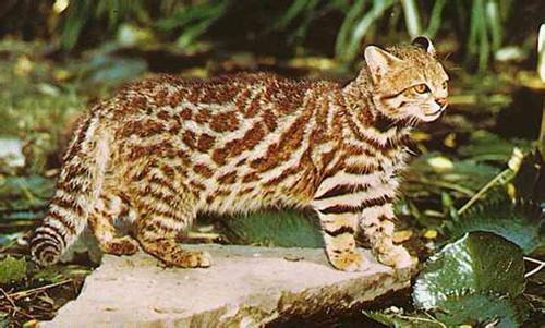 南美草原猫的形态特征