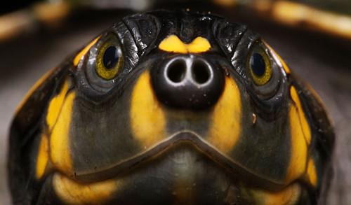 侧颈龟 生长 南半球 一种/小孩子养龟可以选择什么品种?