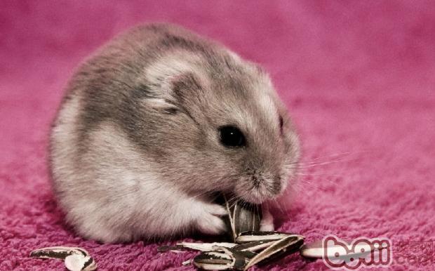 仓鼠季节性脱毛的注意事项