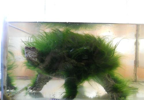 动物与植物的完美结合——绿毛龟