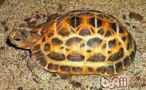 蛛网龟形态特征