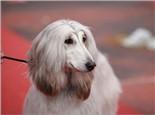 为狗狗梳毛也能改善毛发粗糙