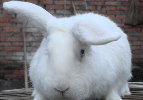 兔子耳朵为什么那么长