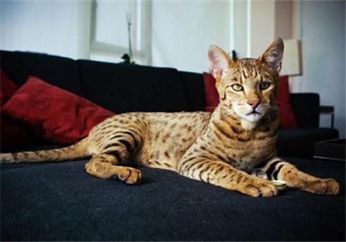 特养新贵:豹猫