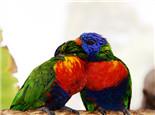 鹦鹉的肢体语言解析