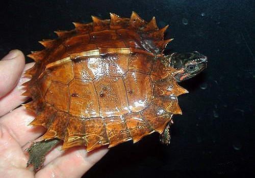 刺山龟的寿命有多长?