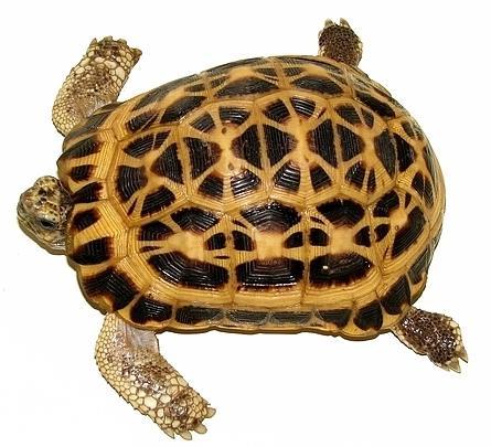 蛛网龟的饲养方式