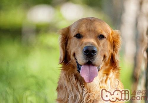 金毛犬头像图片大全