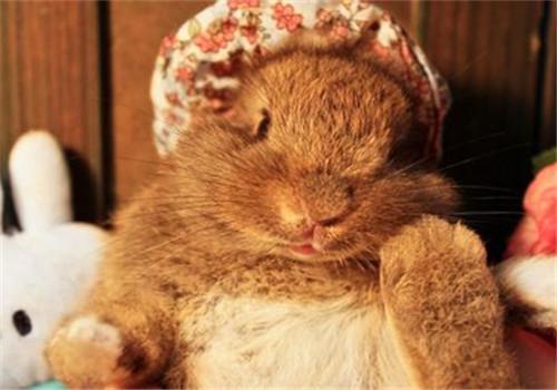 哺乳母兔的饲养管理