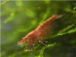 症状 防治/水妖精在虾缸中的作用