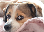 狗狗也会得干眼症