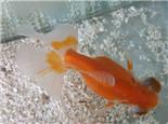 金鱼的年龄及辨别方法