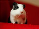 荷兰猪常见脱毛原因分析