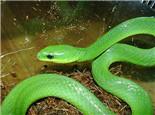宠物蛇常见的喂食问题