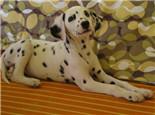 狗狗皮炎的症状及治疗