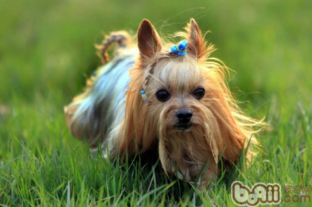 让狗狗毛发发亮的小技巧