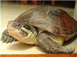 母龟输卵管脱落