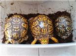 一例东部箱龟家庭人工自然冬眠示范