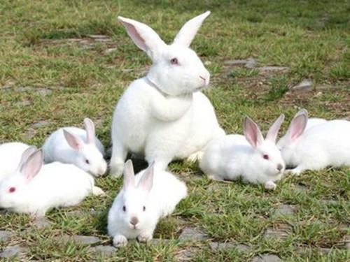 为什么断奶兔前期要合群养?