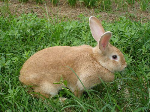 豫丰黄兔品种特征