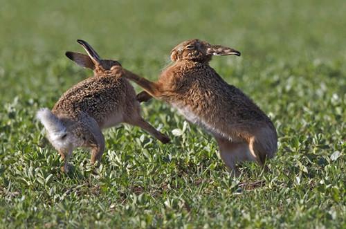 兔子为什么会打架?