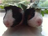 荷兰猪的饲料和干草的区别
