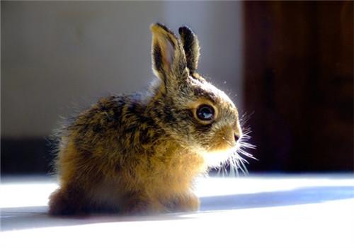宠物兔要注意预防尿路结石