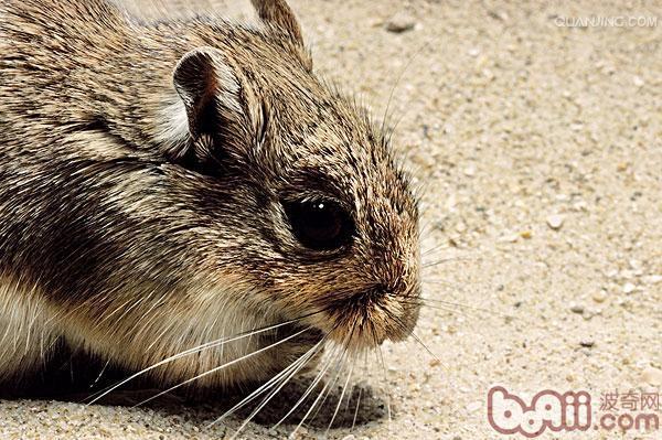 沙鼠软便的解决方法 小宠疾病