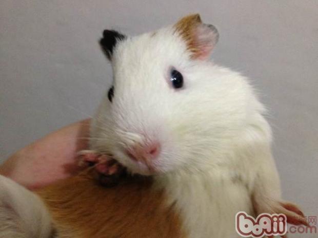 其实豚鼠的耳朵不会经常容易脏,为他们清理耳朵的次数并不需要非常频繁。逆毛绒豚的耳朵不像狗猫般需要常清。除非耳朵很脏,否则一般清耳朵是在帮逆毛绒豚洗澡之后,用干净的棉花棒或用耳钳夹些许棉花卷成棒状,沾少许婴儿油或是无药性的清耳液,用从内向外推的方式,顺着耳朵的形状擦拭几遍即可。   清过耳朵的棉花有的会显现黑色或是棕色等颜色,这通常是因为耳朵带有色素(黑耳或棕耳),而非耳朵肮。